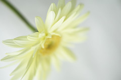 Gerbera(ガーベラ) (kurupa_m) Tags: gerbera flower plant macro yellow sigma dp2merrill ガーベラ 黄色 aml2