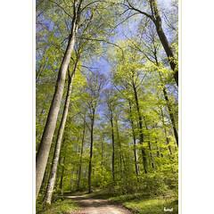 Im Wald (horstmall) Tags: wald forest forêt buchen buchenwald beech fagus fagussylvatica donnstetten horstmall road path weg waldweg route schwäbischealb jurasouabe swabianalps römerstein wachter grün green vert