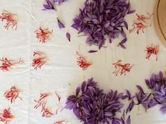 IMG_6357 (Anna Rita Di Barnaba www.zaffineria.com) Tags: italy italia saffron abruzzo lavorazione zafferano