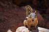 Squirrel @Bryce Canyon (elmarfis) Tags: goldenmantledgroundsquirrel