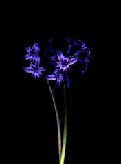 58198.01 Hyacinthus orientalis (horticultural art) Tags: horticulturalart hyacinthusorientalis hyacinthus hyacinth flowers bouquet