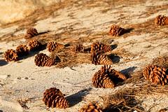 Pine Cones on Beach | Nevada, USA (ynaka29) Tags: usa nevada beach pinecone pine laketahoe sandharbor