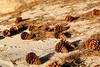 Pine Cones on Beach   Nevada, USA (ynaka29) Tags: usa nevada beach pinecone pine laketahoe sandharbor