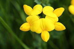 Ginestrino (Lotus corniculatus)