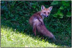 Fox (1 of 3) (RKop) Tags: d500 14xtciii nikkor600f4evr raphaelkopanphotography californiawoodspark nikon wildlife
