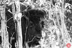 Bison in the woods (Kasia Sokulska (KasiaBasic)) Tags: canada alberta elkislandnp evening bisonloop nature spring landscape bison wildlife