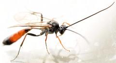 12.1 mm female ichneumon (ophis) Tags: hymenoptera parasitica ichneumonoidea ichneumonidae campopleginae dusona ichneumon