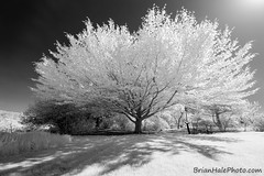 4-BnW-watermark-B (Brian M Hale) Tags: tower hill botanic botanical boylston ma mass massachusetts newengland new england infrared ir 720 720nm outside outdoors nature brian hale brianhalephoto lifepixel t4i garden black white bw grayscale greyscale monochrome
