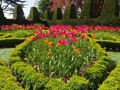 P5102521 (simonrwilkinson) Tags: nymans nationaltrust haywardsheath westsussex handcross gardenplant garden tulips