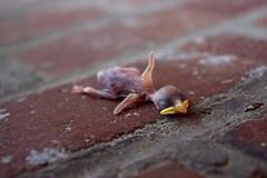 (John Donges) Tags: dead animal bird baby newborn featherless brick 0037
