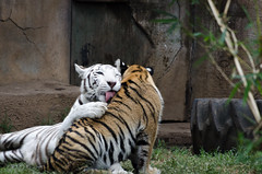 motherly affection (Pejasar) Tags: 2015 guatemala college mission whitetiger motherandchild tigers guatemalacityzoo