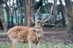 Safaripark Beekse Bergen (Bas Cooijmans) Tags: beeksebergen dieren edelhert hert