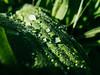 Drops (FloHimself) Tags: canonpowershotg11 vsco