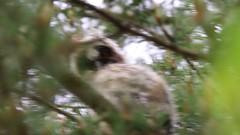 Asio otus / Long-eared owl (Juvenile) (Zatanen) Tags: asiootus hiboumoyenduc sarvipöllö hornuggla longearedowl hornugle skovhornugle uil waldohreule juvenile bufopequeno fukuro babyowl raptor petolinnut rovfåglar rapace birdsofprey rapaz rovfugler raubvogel