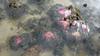 Magnificent sea anemone (Heteractis magnifica) (wildsingapore) Tags: pulau semakau east heteractis magnifica actiniaria cnidaria island singapore marine coastal intertidal shore seashore marinelife nature wildlife underwater wildsingapore