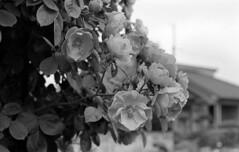 Neighbor's roses (odeleapple) Tags: nikon f100 afs nikkor 50mm yellowfilter kodak400tx film monochrome bw rose