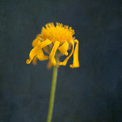 Dark Daisy (borealnz) Tags: daisy yellow golden dark background fading death dying dried