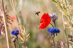 Saveur coquelicot (mars-chri) Tags: coquelicot rouge bleu graminés bleuets auverssuroise valdoise