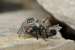 Philaeus chrysops, femelle avec proie (causse Noir) (G. Pottier) Tags: philaeuschrysops philaeus chrysops jumpingspider salticidae saltique araignéesauteuse spider araignée