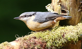 NUTHATCH....Powys....look on large