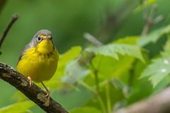 Paruline Du Canada / Canada Warbler female (ALLAN .JR) Tags: parulineducanada canadawarbler nature wildlife bird oiseau spring printemps ilestbernard nikon d7100