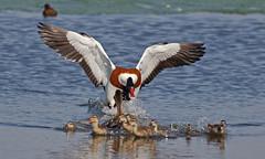 Shelduck & Mallard & Chicks UB2A0038 (paulcoltman) Tags: tadorna shelduck aggressive behaviour red white blacck large duck black