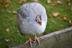 bird on a beam (rabinal) Tags: guineafowl