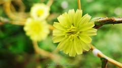 Yellow seducer (_Nick Photography_) Tags: fiore giallo bosco macro wood yellow flowers bokeh nickphotography selectivefocus sottobosco