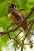 Elegant Trogon (Mario Arana G) Tags: 7d ave bird cr canon carrillo costarica eleganttrogon florayfauna guanacaste marioarana nature naturephotography photography playasdelcoco wildlife wildlifecostarica