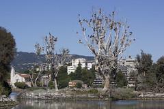 cormorants nesting (verona39) Tags: island lake merritt oakland ca cormorants birds nesting nests