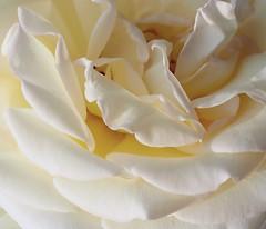 White rose 白薔薇 (shiro bara) (Kenih8) Tags: elmarit 45mm white rose olympus pen epl7