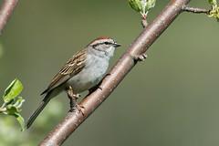 Bruant Familier / Chipping Sparrow (ALLAN .JR) Tags: bruant sparrow bird oiseau familier chipping spring eye nature wildlife ilestbernard nikon d7100