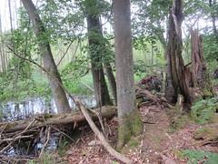 Weltnaturerbe Serrahner Buchenwälder (Waldvogel_51) Tags: natur moore buchenwald müritz mecklenburgvorpommern serrahn neustrelitz urwald
