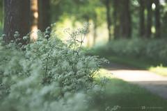 (CarolienCadoni..) Tags: sonyslta99 sal2470z cowparsley bokeh dof trees path light earlymorning nieuwbuinen drenthe buinerhornsebos
