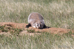 May 29, 2017 - A Badger cub hangs out at the Rocky Mountain Arsenal. (Bobby H)