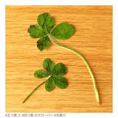 四つ葉のクローバー 画像12