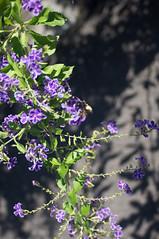 nEO_IMG_DSC03329 (Bryan Shan@) Tags: sony a55 sonya55 tamron tamronsp2448mmf3538 sp 2448mm f3538 model13a flower 花 plant 植物