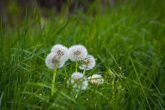 Flower Power : que des pissenlits (ClarkHodissay) Tags: pissenlits dandelions flower power pelouse macro prairie pissenlit dandelion flowerpower