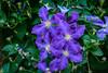 Reminiscing on our Blooms (Guy Lacroix) Tags: flower ourgarden plant wikipedia clematisjackmanii guylacroixflickr garden clématitedejackmann clematiscultivar