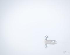 Journey in the mist... (Coisroux) Tags: misty fog mallard duck birds water hazy serene calming gliding swimming reflections leelanau michigan leelan lakeleelanau d5500 nikond stillness atmospheric softness dusk ripples river