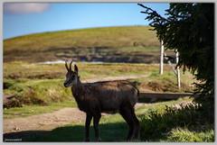 La star ici, c'est moi! (jamesreed68) Tags: animal chamois faune herbivore hohneck martinswand alsace hautrhin 68 88 vosges paysage nature france montagne grandest canon eos 600d