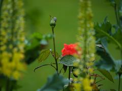 red rose in the rain (rainerralph) Tags: flower garten blume flowers omdem5markii objektiv4015028pro inmeinemgarten blumen
