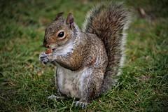 The wild St. James's Park Squirrel | London (Photography by Eric Hentze) Tags: squirrel eichhörnchen tierfotografie animal animalphotography animale animalplanet wild wildlife park hydepark 2017 london urlaub uk untiedkingdom grosbritannien greatbritain england erichentze nikon nikond7100 d7100 tier itsazoooutthere outdoor meadow 18300mm color april