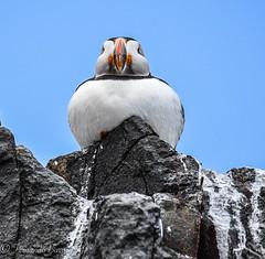 frailecillo inflado (barragan1941) Tags: aves avesmarinas escocia islasfarne
