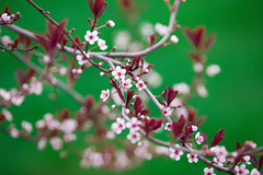 small, but nonetheless beautiful (KieraJo) Tags: 200mm 28 canonef200mmf28liiusm l lens bokeh canon 5d mark iii 3 5 d 5d3 fullframe dslr spring logan utah cache valley life plants leaves new green sky blossoms branch tree pink buds rosy