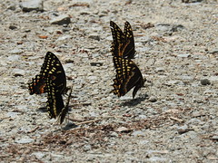 Palamedes Swallowtails (Explored) (GoldenEagle754) Tags: swallowtails butterflies perched gravel parkinglot palamedesswallowtails great dismal swamp national wildlife refugegreat invertebrate insect animal outdoors nature virginia