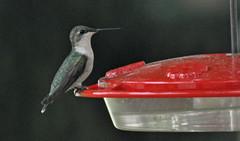 DSC_1867 (Nikon Nut) Tags: archilochuscolubris oceancounty newjerseyusa hummingbird nikonnut nikkor80400mm