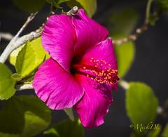 Hybiscus (MickDL) Tags: arizona hybiscus mickdl flower