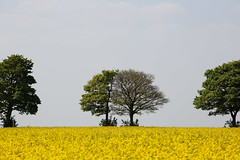 Half Life (alan.irons) Tags: half life tree trees brassicaceae rapeseed field green yellow canon northlincolnshire england uk skyline oilseed growth landscape scenery nature