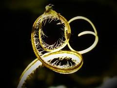 Alien Face - HMM..x (Lisa@Lethen) Tags: pareidolia face macromondays happymacromondays monday plant material stem blackbackground nature sunlight hairs fibres